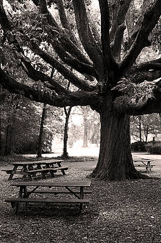 Swamp Chestnut Oak Tree-Rosedale Plantation by Brian M Lumley