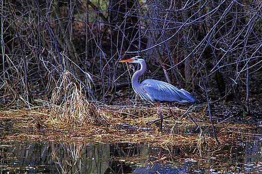 Cathy  Beharriell - Swamp Mucking Heron