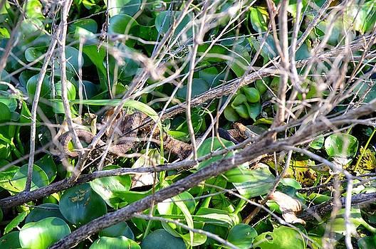 Swamp Snake  by Joseph Caban