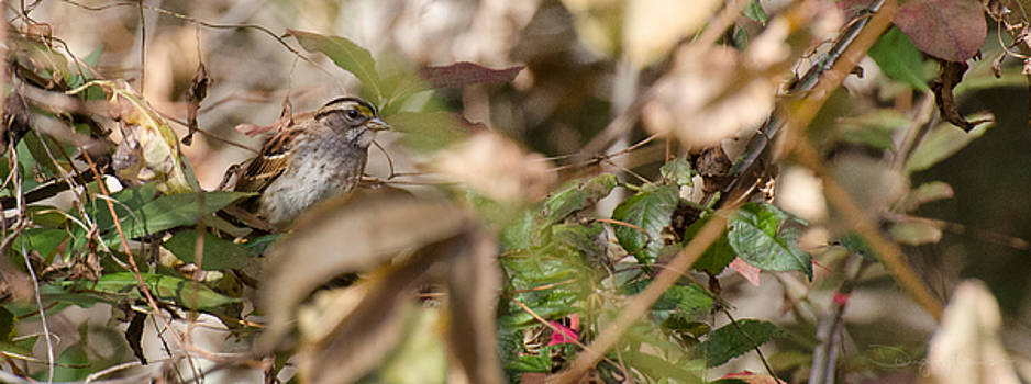 Swamp Sparrow by Doug Mathewson