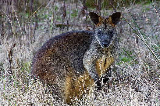 Swamp Wallaby  by Miroslava Jurcik