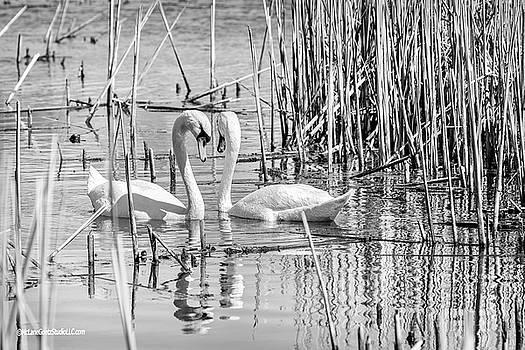 Swan Affections Monochrome by LeeAnn McLaneGoetz McLaneGoetzStudioLLCcom