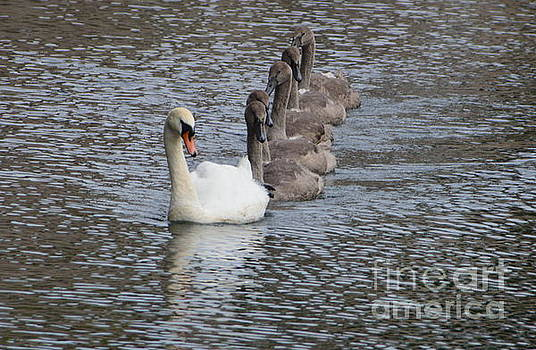 Swan and Cygnets by Andy Thompson