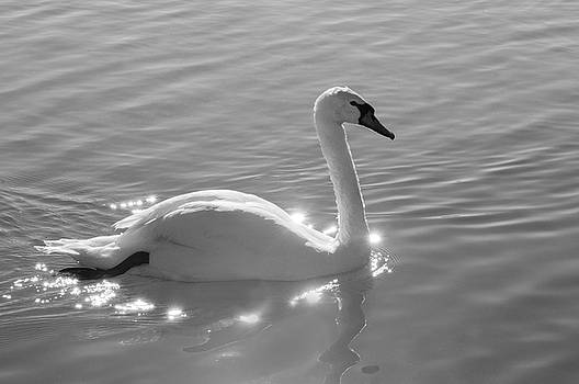 Swan bathed in light by Carolyn Dalessandro