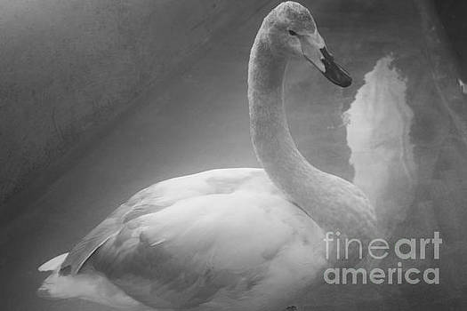 Swan BW by Ram Photography