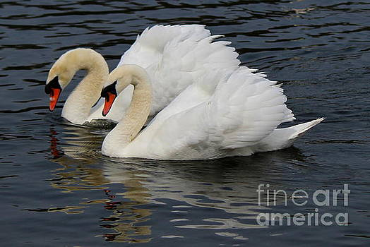 Royal Swan Couple by Hanni Stoklosa