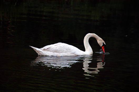 Clayton Bruster - Swan Drinking