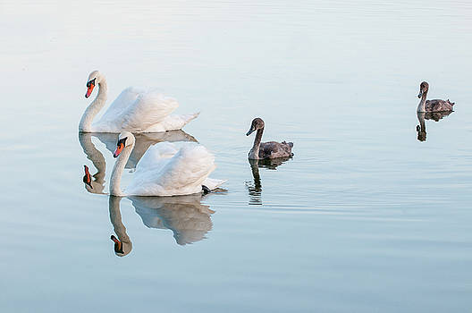 Swan family by Carolyn Dalessandro