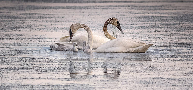 Swan Family by Kelly Marquardt