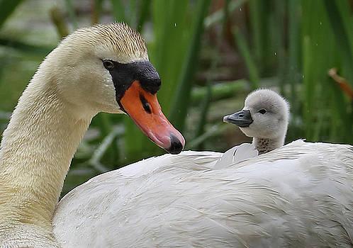 Swan Family by Mingwei Li