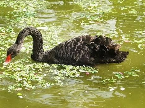 Swan Fishing by Siddarth Rai