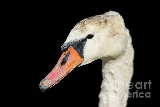 Swan Head by Geoff Smith