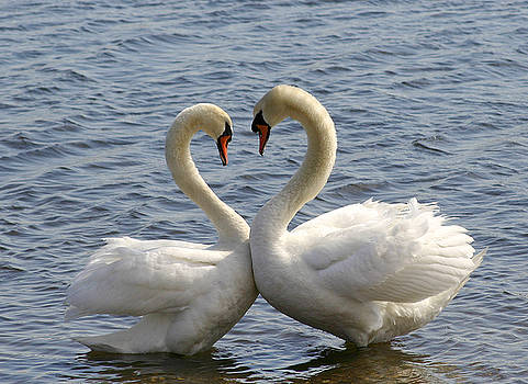 Swan Heart by Kelly S Andrews