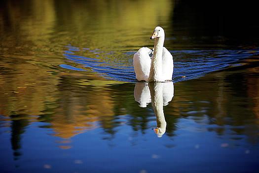 Swan in Color by Teemu Tretjakov