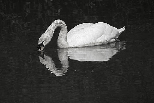 Swan by Iris Page