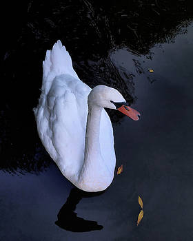 Swan by Jim Hill