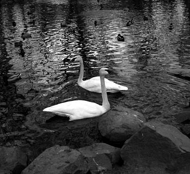 Swan Lake Black and White by Cassandra Wessels