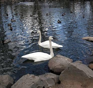 Swan Lake by Cassandra Wessels