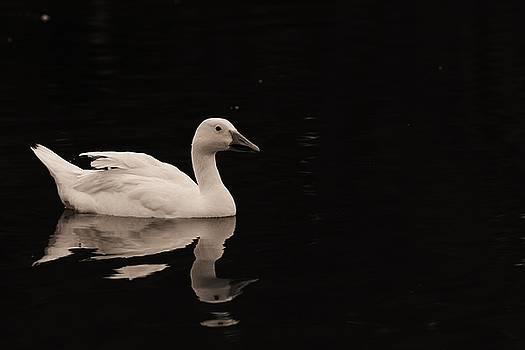 Swan Lake  by Jaime Malave