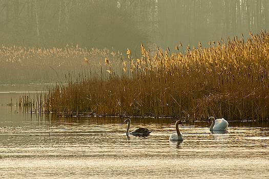 Swan lake by Jaroslaw Suchozebrski