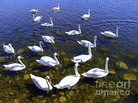 Joe Cashin - Swan Lake