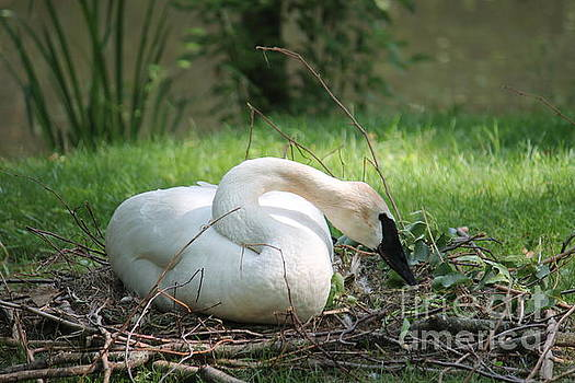 Swan by Monica Whaley
