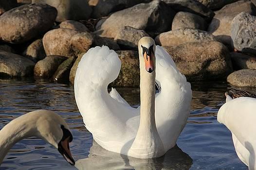 Swan by Nikola Stojanovski