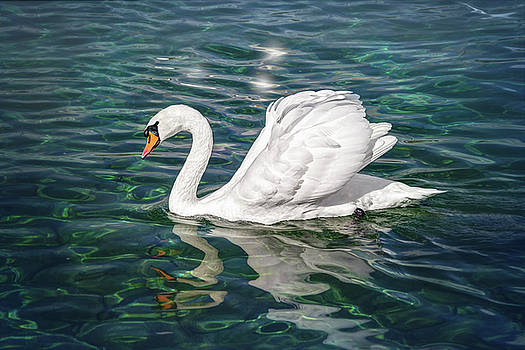 Swan on Lake Geneva Switzerland  by Carol Japp