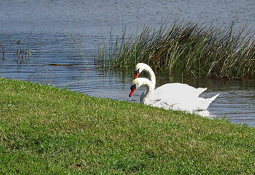 Swan Pair as Photographed by Rosalie Scanlon