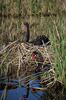 Cheryl Hall - Swan parents