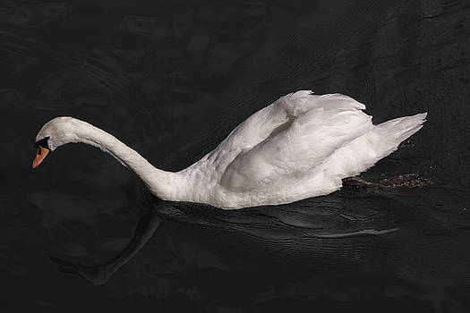 Swan Reflection by John Daly