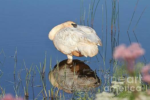 Swan Reflections by Teresa McGill