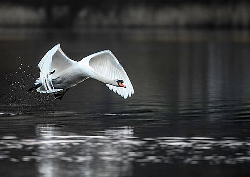 Swan takes off from Grasmere by Russell Millner