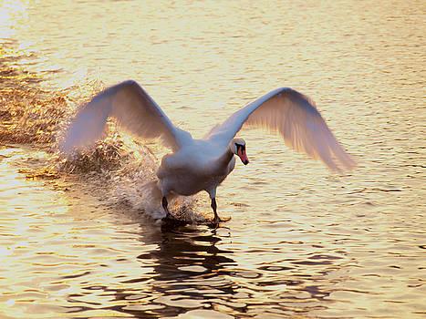 Swan by Tomas Trojcak