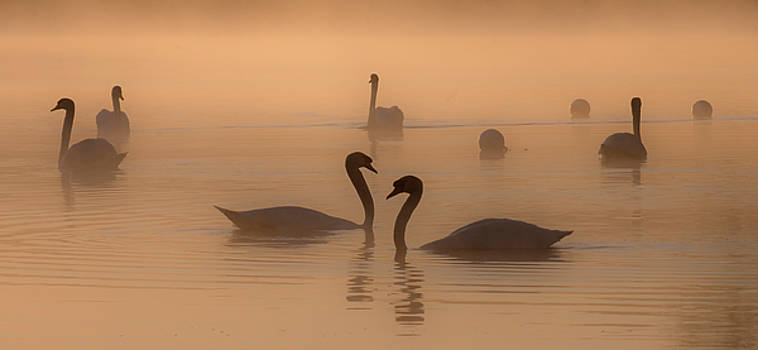 Swans at Dawn by Roger Lever