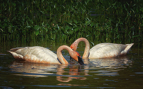 Swans in a Pond  by Richard Kopchock