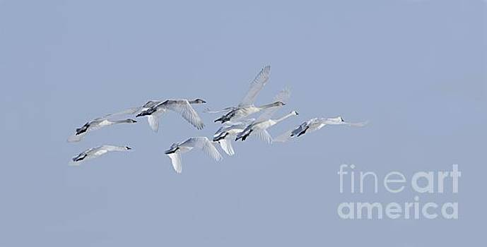 Larry Ricker - Swans in Flight
