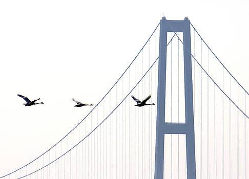 Swans in line by Toon De Zwart