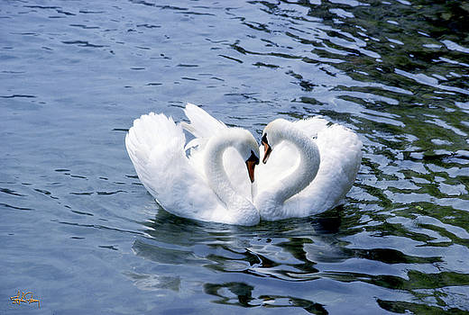 Swans In Love In Lucerne by Stephen Fanning