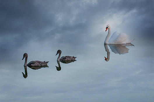 Swans in springtime by Carolyn Dalessandro