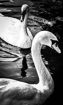 Swans by James Fitzpatrick