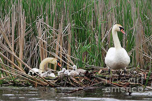 Swans by Kathy Eastmond