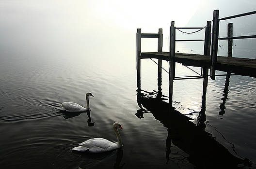 Swans by Marco Panerai