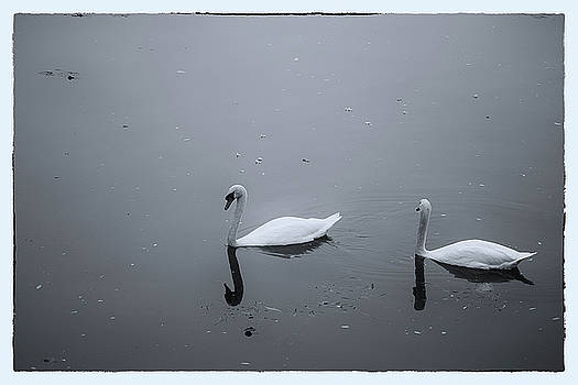 Swans by Maxwell Dziku