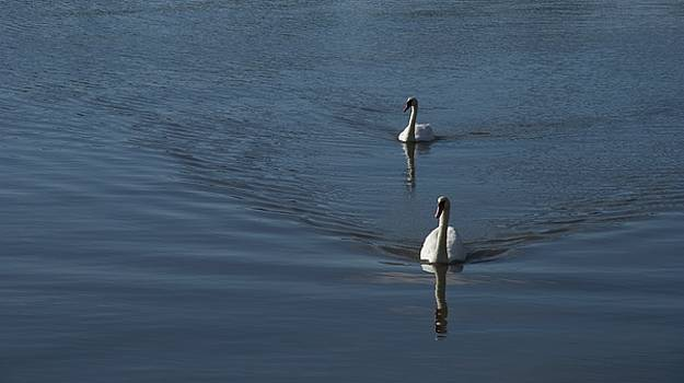 Swans On Blue by Charles Kraus