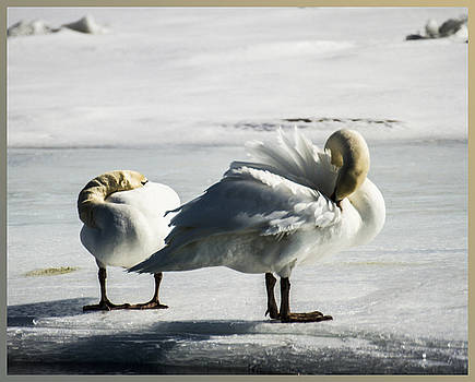 Swans On Ice by Suanne Forster