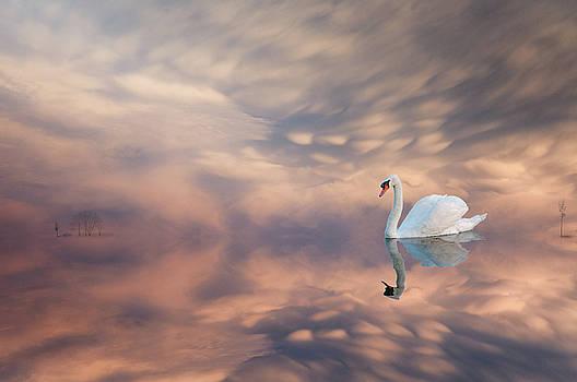Swans reflections by Carolyn Dalessandro