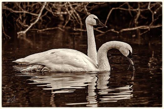Swans by Thomas Ashcraft