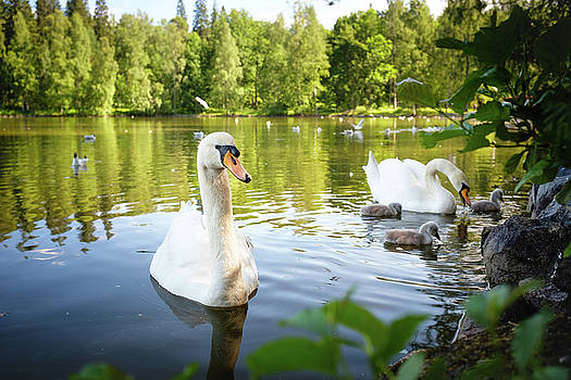 Swans with Chicks by Teemu Tretjakov