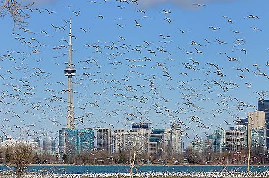 Reimar Gaertner - Swarm of mating Ring Billed Gulls at Leslie Street Spit Toronto